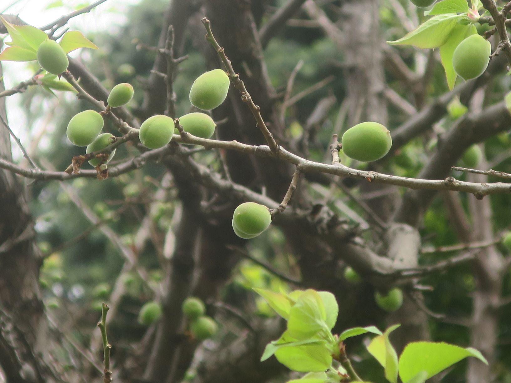 梅の実いっぱい